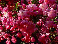 プログで知り合った方に、桜図鑑を差し上げに、中山寺まで行きました 下巻。