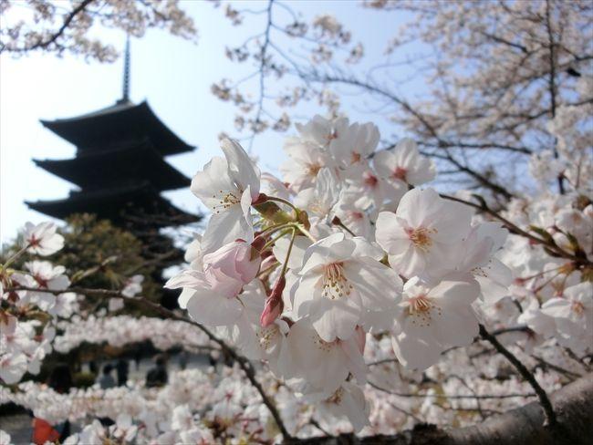 京都('19 花見)