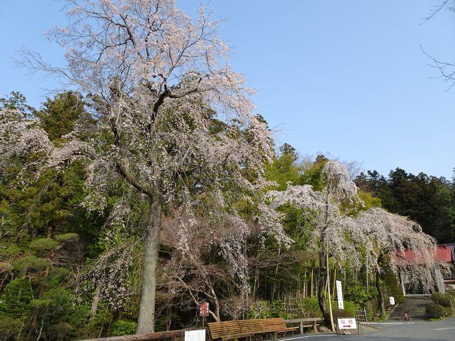 両神山登山&桜満開の秩父・長瀞・熊谷