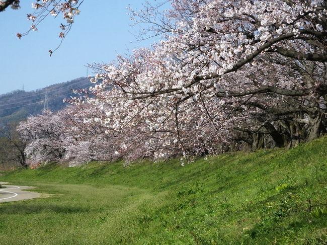 京都の桜巡り そに二は<br />伏見を中心に回りますが本日の行程は<br />八幡背割堤の桜⇒伏見長建寺⇒伏見水路⇒本教寺⇒御香宮神社⇒妙満寺⇒正伝寺<br />となります。<br />八幡の背割提の桜は、京都の桜名所で十位に入りました。<br />連日各新聞に掲載されたりTVで放送されたり展望台も出来てたくさんの人がお見えでした。<br />昨年9月の台風の影響で数本の大木と他の枝が伐採されて過去を知る方にしたら寂しい風景となっています。<br />背割提や伏見水路ともウエデイング姿が数組撮影していて申し訳ないけど邪魔でした。<br />妙満寺はしだれ桜は咲いていたものの献木の紅しだれ桜はまだつぼみでおそらく今日(8日)は見頃になっていると思います。