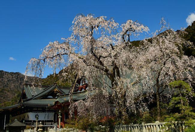 西山温泉の慶雲館は源泉掛け流しの温泉が素晴らしいと評判が高い。この宿に泊まるツアーがあったので参加した。慶雲館では期待通り、温泉と食事を満喫した。<br /><br />サクラの名所を回ったが、丁度、満開や見頃の時に巡り会った。その中で実相寺のエドヒガンザクラは樹齢1800-2000年と伝えられ、日本最古のサクラである。さらに、身延山久遠寺のしだれ桜は樹齢400年の古木で迫力があった。<br /><br />快晴の空の下、富士山も綺麗だった。宿泊したホテル鐘山苑からは日の出時の富士山を撮影できた。さらに忍野八海ではコバルトブルーの池と富士山の取り合わせが見事だった。