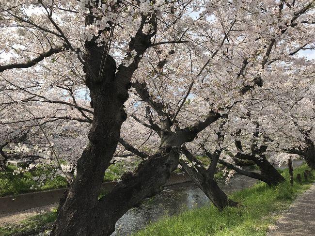愛知県下でも有名な桜の名所です。
