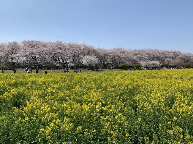 4/6 首都圏である程度有名な幸手の権現堂桜、お天気も良かったし一度は見てみたかったので、行ってみました。<br />満開の桜と菜の花を楽しむことができました!!<br />オススメです!