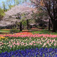 国営昭和記念公園:FLOWER FESTIVAL 2019〜満開の桜とチューリップの競演&普済寺、諏訪神社