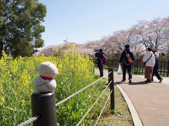 ソメイヨシノの開花の頃に満開となり安行桜を見に・埼玉県の北浅羽、川口、に行ってきました。ソメイヨシノが万日になってきた頃。サクラと菜の花のコラボレーションを見に幸手に行ってきました。ソメイヨシノの終盤のころ群馬県の館林に桜常井上りのコラボレーションを見て来ました。東京のソメイヨシノが葉桜になった頃、福島に伊藤若沖展を見に行った際に桃源郷のような桜を見に行きました。