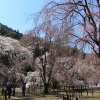 【2019年】清雲寺のしだれ桜と秩父の桜だより