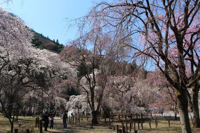 秩父が好きです。<br />でも清雲寺の枝垂れ桜を見たことがありませんでした。<br />4トラに旅行記書いていないのもあるけど何度も行っているお寺なのに。<br />今年こそは見たいぞと思っていました。<br />でもその前に、ラビューに乗って秩父へ行こう!<br />秩父に泊まったわけではないですが一度行くとまた行きたくなったり誘われたり。<br />3月31日 四萬部寺 (札所一番)、 真福寺 (札所二番)、光明寺、常泉寺 (札所三番)、金昌寺 (札所四番)、語歌堂 (札所五番)、大慈寺 (札所十番)<br />4月2日 清雲寺しだれ桜、長泉院 (札所二十九番) 、千手観音堂、昌福寺、安谷川木橋、和味 、法善寺、北桜通り、長瀞、秩父神社 、慈眼寺 (札所十三番) <br />4月9日 瑞岩寺、四萬部寺 (札所一番)、光明寺、常泉寺 (札所三番)<br /><br /><br />