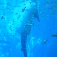 沖縄本島は大学生以来!?本島一周ツアーに一人参加(その2)〜本島北部のオクマビーチ、辺戸岬、大石林山、古宇利大橋、美ら海水族館など〜