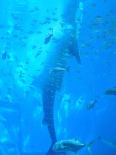 沖縄本島は大学生以来!?本島一周ツアーに一人参加(その2)~本島北部のオクマビーチ、辺戸岬、大石林山、古宇利大橋、美ら海水族館など~