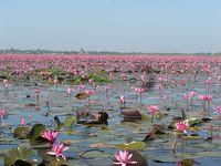 湖面一杯の蓮の花