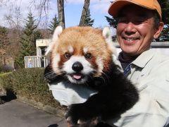 お散歩ロンくん見納めの3月の茶臼山動物園(2)レッサーパンダ特集:いつもの倍かかったイベントを頑張ったロンくん&屋外パンダ出勤も見られた再訪