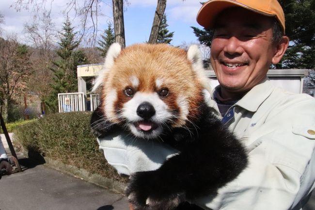 13年続いたロンくんお散歩イベントは、ロンくんがだいぶお年寄りになってきたので、2019年3月で終了となりました。<br />13年も続いていたのかと知って、改めて驚きました。<br />ロンくん、ほんとにおつかれさまでした。<br />来園者がおさわりきて、一緒に記念撮影できるなんて、レッサーパンダに限らず、動物園の飼育動物であっても、ほとんどの動物では考えられない大変なことです。世界でも類をみないでしょう。<br />ロンくんは、イベント開始前に、体調チェックする飼育員さんとふれあいの中でリンゴがもらえます。<br />そして15分のイベントの後で、またごほうびのリンゴがもらえます。<br />でも、飼育員さんが来たからリンゴがもらえるという構図はどのレッサーパンダでも把握していて、ロンくんもきっと同様で、このイベント前後のリンゴが、イベントのごほうびだとは認識していないでしょう。<br />なにしろ、イベントの最中、ロンくんは特にごほうびをもらわずに、来園者との撮影タイムにじっとしているのです。<br />それって、一般家庭に飼われているワンちゃんでも、待ての訓練ができていないと無理でしょう。<br />しかも、ロンくんは、長年のイベントの経験から、訓練もされていないのに、カメラ目線まで覚えたのです。<br />それに、動物ショーに出演する訓練された動物でも、1つの技の前後でこまめにごほうびをあげるのが常ですが、ロンくんはイベントの最中にごほうびをもらうわけではないのです。<br />飼育員さんにおんぶされて外に出てきたロンくんは、イベントの最中、飼育員さんの背中や腕の中でもそもそ動いて落ち着きがない時ももちろん、あります。でも、周りの景色を眺めたり、見学者を眺めたりしていることもあります。<br />本日は、イベントタイムの昼はとても良い天気だったことと、お散歩ロンくん見納めに、まだ動物園閑散期なのに、ゴールデンウィークかってくらい人が集まりました。<br />当然、おさわりしたい人も記念撮影したい人も多いので、イベントはいつもの15分ではなく25分まで長引きましたが、おさわりと撮影タイムのロンくんは、ずっとおとなしくしていて、とてもおりこうさんだったので、びっくりしました。<br />時々、飼育員さんの耳をなめたり、肩から背中へ動いたりしていたけれど、25分間、ほぼずっとおとなしくしているなんて、人間の子どもでも難しいでしょう。<br /><br />ちなみに本日は、地元の長野ニュースの収録もありました。<br />それから、私は1人で来園し、一眼レフでロンくんをぱちぱちやっていたせいか、記念撮影のシャッター押しを何度も頼まれました。<br />飼育員さんは恐縮していましたが、私はけっこう楽しかったです。<br />まあ、初めてさわる他人のカメラやスマフォで、ロンくんがカメラ目線をしている間にすばやくシャッターを切らなくてはならなかったので、自分の手になじんだカメラで勝手にロンくんをぱちぱちやっていたのとずいぶん勝手が違い、いい写真が撮れたかどうかは分かりません(笑)。<br /><br />本日の再訪は長野駅に前泊したので、朝は余裕で早く出られたのですが、開園の9時半より少し遅れて10時近くに来園しました。<br />篠ノ井駅からタクシーを利用するので、北口駐車場で下りて、そこから運賃100円のモノレールで北口へ行くとにしていたのですが(その方がタクシー代の節約になるし、1番目当てのレッサーパンダは北口のそばにいるからです)、あいにく長野駅から篠ノ井駅に行く列車の本数は少なく、開園時間に間に合うように行くなら、篠ノ井駅の待合室か、なんにもないモノレール駅の前で、雨の中、30分くらい待たなくてはなりません。<br />なので開園時間よりちょっと遅くに到着するくらいでいいと思ったのですが、到着したときは、あいにく室内にいたロンくんも、ヒビキくん・ヒカルくんも、朝ご飯のリンゴはとっくに食べ終わっていて、おなかが満たされたからか、寝ていました。<br />それに10時まで小雨でもけっこう降っていたので、屋外レッサーパンダはまだ出ていませんでした。<br />でも、10時すぎに雨がだいぶやみ、それから屋外レッサーパンダたちの出勤タイムとなったため、結果的にはちょうどよいタイミングの来園だったと思います。<br />おかげで、屋外レッサーパンダ7頭全員(タイチくん・ノンちゃん・アジサイちゃん・ポポくん・ネネちゃん・サラちゃん・風鈴ちゃん)が、1頭1頭、飼育員さんにうながされて出てくるところや、朝ごはんのリンゴを食べるところがばっちり見られました!<br />レッサーパンダはとても表情が豊かで、大好きなリンゴを食べているときは実