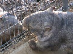 お散歩ロンくん見納めの3月の茶臼山動物園(3)恋するウォレスくんと怒りのモモコちゃんが面白いウォンバットや秋の赤ちゃん動物たちの成長ぶり他