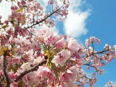 桜の通り抜け