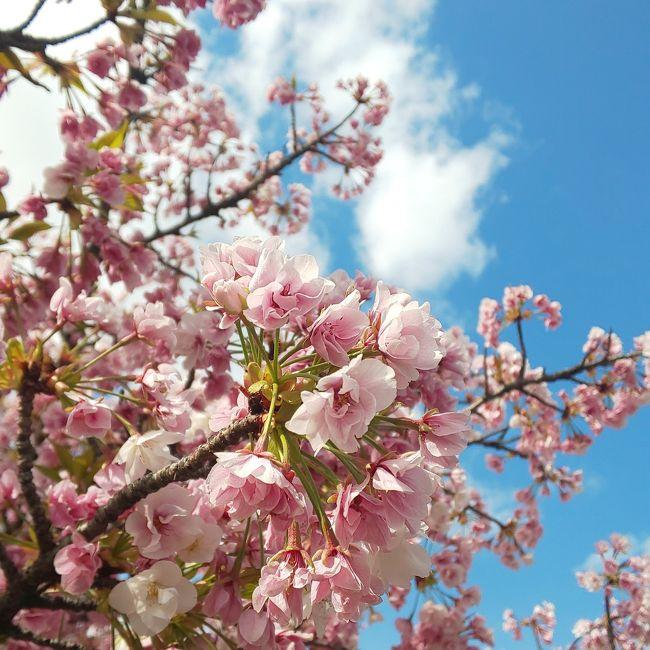 大阪造幣局桜の通り抜けへ行ってきました。まだまた咲き始めの木も多かったので見頃がつづきそうです。<br />