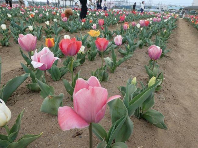 埼玉・鴻巣の花のオアシスで行われていたチューリップまつりに行ってきました。<br />摘み取りなどもできました。