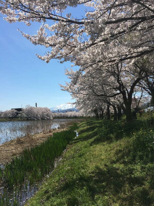 上越市の高田公園の桜を見て来ました