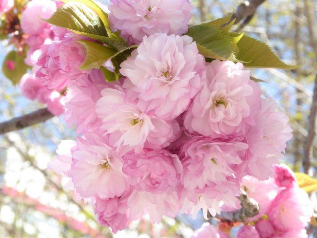 東京のソメイヨシノは散り始め、今年の桜の季節は後半戦。<br />この日は午後から所用があるので、近くで遅咲きも含め、いろいろな品種の桜が咲いている上野公園に行ってみることにしました。<br />上野桜守の会作成の上野公園桜マップをスマホに入れて、桜を探しながら、散策です。遅咲きは八重の丸々とした桜が多くてかわいいですね。<br /><br />本日観桜の品種は遅咲きを中心にざっと23種<br /> 64.関山<br /> 65.松月<br /> 66.永源寺<br /> 67.白妙<br /> 68.紅華<br /> 69.八重紅虎の尾<br /> 33.八重紅枝垂<br /> 70.妹背<br /> 71.福禄寿<br /> 72.蘭蘭<br /> 73.天の川<br /> 74.一葉<br /> 75.霞桜<br /> 76.鬱金<br /> 18.江戸彼岸<br /> 39.染井吉野<br /> 77.舞姫<br /> 78.思川<br /> 79.千里香<br /> 25.小松乙女<br /> 80.園里黄桜<br /> 22.御車返し<br />※番号は前回からの続き
