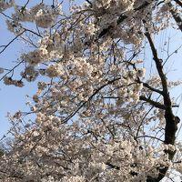 春の京都�〜京都駅周辺、ラーメン、哲学の道の満開の桜、銀閣寺〜