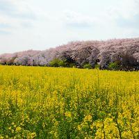 桜と菜の花のコラボ♪念願の権現堂桜堤と鷲宮神社をめぐる お花見さんぽ