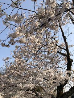 春の京都③~京都駅周辺、ラーメン、哲学の道の満開の桜、銀閣寺~