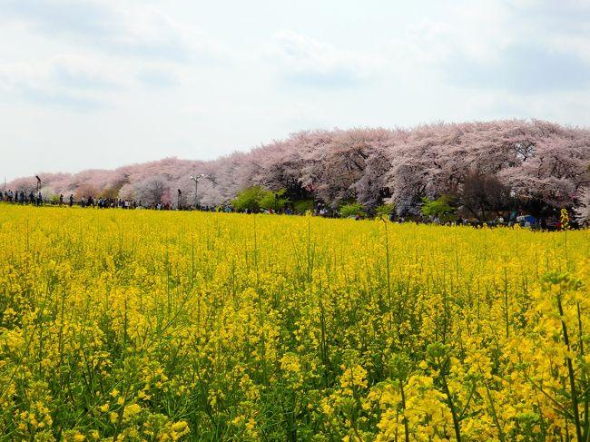 埼玉屈指の花見スポット、幸手権現堂桜堤。これまで訪れたことがなく、ずっと行ってみたいなと思っていました。今年こそは~と思って情報をチェックしていたところ、桜が満開になったと!これを逃すまいと、、出かけてきました。<br /><br />満開の週末とあって、権現堂はとても混雑していたものの、念願だった桜と菜の花が広がる美しい景色を見ることができました^^<br /><br />権現堂の桜を楽しんだ後は、鷲宮へ足を延ばして鷲宮神社を参拝。予想外にお花見スポットだった鷲宮駅と鷲宮神社でも、素敵な風景を楽しんできました!<br /><br />よろしければご覧ください~。