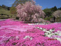 街歩き7・しば桜満開