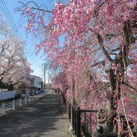 日帰り青春18きっぷで桜を愛でる旅(4)宇都宮餃子と満開のしだれ桜
