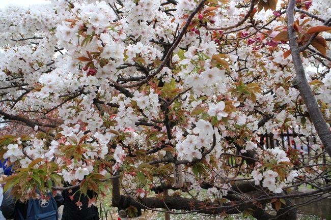 難波の春、桜の風物詩と言えば造幣局の通り抜けです。ほぼ、吉野桜が満開になった頃に通り抜けが始まります。八重桜を始めとして、紅手鞠や黄桜、楊貴妃というような珍しい種類が咲き誇ります。桜の花を愛でるのに、これほど多くの種類を一遍で見ることができるのは日本広しと雖も、ここだけだと思います。
