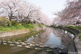 2019年 東海の桜めぐり 【8】岩倉 五条川の桜並木