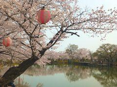 太田ヶ谷沼は桜が満開!