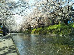 愛知の桜の名所めぐり・・・岡崎城・五条川・犬山城