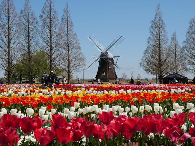 風車を背景の広がる花畑に約16万球のチューリップが咲き揃う「あけぼの山農業公園」に行ってみた。