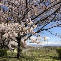 新潟を北上 加治川治水記念公園の桜~水芭蕉~村上の鮭~笹川流れ と 錦鯉の里