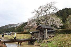 北陸8名城のさくら(6)・・一乗谷朝倉氏遺構と越前大野城を訪ねます。