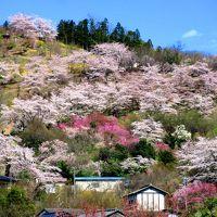 桜咲く東北へ、白石川堤と福島・花見山の旅