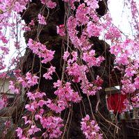 福島の桜と那須湯本温泉へ