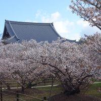 仁和寺に御室桜を見に。ここでは,桜が身近に感じられます。桜に包まれる感じです。