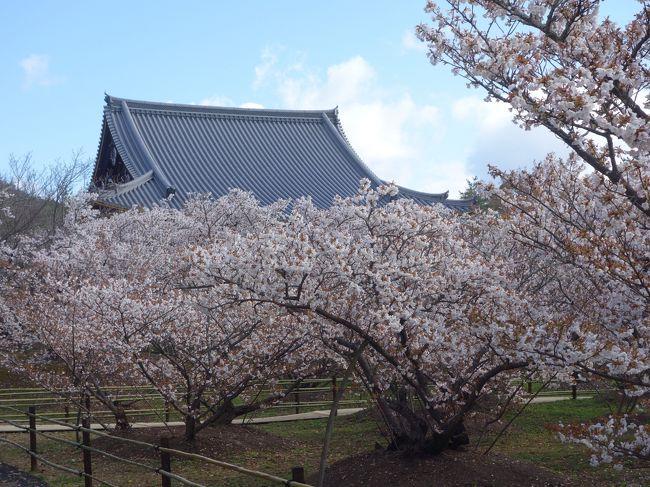 ソメイヨシノが終わったこの時期。仁和寺の御室桜の出番です。御室桜はちょっとソメイヨシノより後れて咲きます。御室桜の時期にあわせて見に行きました。