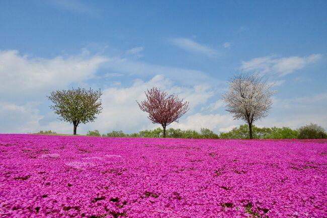 太田市北部運動公園<br /><br />ちょっと お堅いネーミングですが!<br />芝桜、ネモフィラ、ポピー(((o(*゚▽゚*)o)))<br /><br />たくさんの お花が楽しめちゃう<br />オススメの公園♪<br /><br />カラフルな公園を お散歩です^_-☆