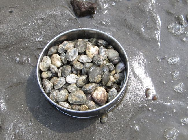 久しぶりの富津での潮干狩り。平日の大潮ですが、富津海岸は空いていました。<br />朝早く家を出て、富津海岸に着いたのは8時30頃。駐車場もガラガラでした。<br />アサリとハマグリが大量に採れました。久しぶりの潮干狩りでした。<br /><br />☆富津海岸潮干狩り☆2009/06/07<br />https://4travel.jp/travelogue/10345996<br /><br />☆夏の富津海岸潮干狩り☆はかりめ丼☆2010/07/11<br />https://4travel.jp/travelogue/10479617<br /><br />☆7月の富津海岸潮干狩り☆大定で寿司☆2011/07/03<br />https://4travel.jp/travelogue/10581414