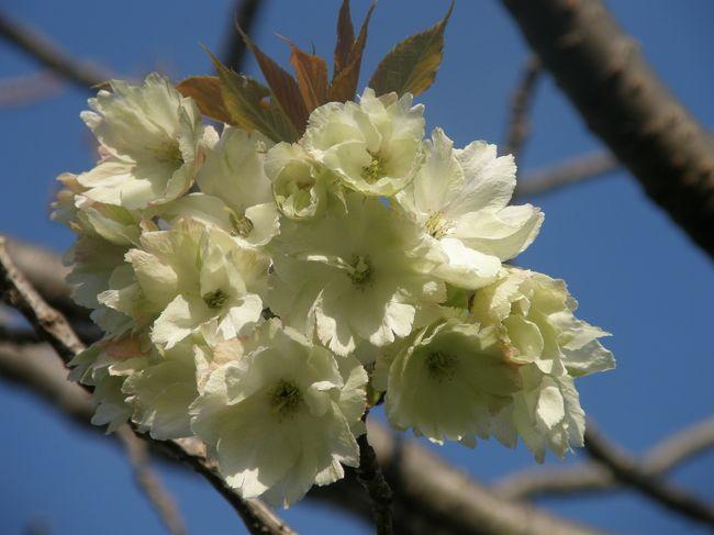 毎朝の早朝散歩は季節感いっぱいのリハビリ・ウォーキングになっています。<br />今は、桜や野草・野鳥の営みが目を楽しませてくれます。<br />ここ数日は、黄色の桜が開花したと云うので、早朝ウォーキングコースに入れてみた。