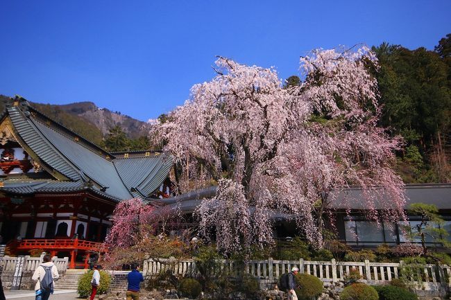 平成最後の桜の撮影記として山梨県、静岡県、神奈川県の桜の名所巡りをしました!!<br /><br />最初に行ったのが、山梨県は身延山久遠寺の枝垂れ桜です!<br /><br />丁度満開見頃の枝垂れ桜に感動!!