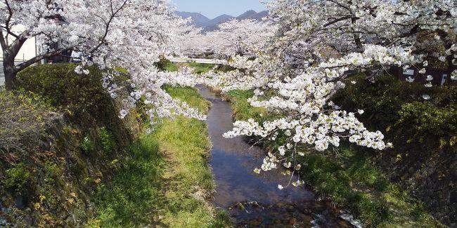 山口市を代表する桜の名所といえば「一の坂川」<br />県庁の周辺から川沿いに綺麗な桜が咲き誇る。<br />この日は土曜日とあって早い時間から周辺の駐車場に停めるのが大変なほどの賑わいだ。<br /><br />この場所に花見に来たのは2回目だが、前回はあまりゆっくりはできなかったが、今回は時間がありゆっくり散策した。<br />川にかかる桜も綺麗だが、両サイドには感じの良さそうな飲食店もたくさんある。<br />車だしお客さんも一緒だから一杯やるという訳にはいかないから今度は夜にでもゆっくり来てみたい。<br />そんな店が建ち並ぶ風情ある通りだ。<br /><br />前日の夜に湯田温泉の名店「あかぎ」で美味しいディナーを食べたが、この日も系列の山口駅近くの「あかぎ」でランチ。<br />どちらの店も和食の名店で、桜の綺麗さに引けをとらない素晴らしさだ。<br />