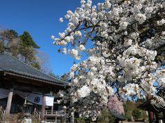 福井で桜。朝日観音に会いに行く。おさごえ民家園も立ち寄る。