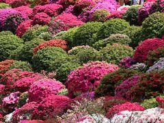 鮮やかなモコモコまんまるツツジは根津神社の「文京つつじまつり」