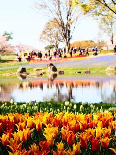 昭和記念公園の渓流広場で、カラフルなチューリップと桜の見事な競演