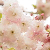 晩春を彩る八重桜@新宿御苑