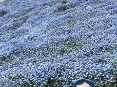 大阪舞洲わいわい旅行!…ネモフィラ祭りを訪れて…