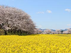 奈良・藤原宮跡の桜と菜の花を見にいってみました
